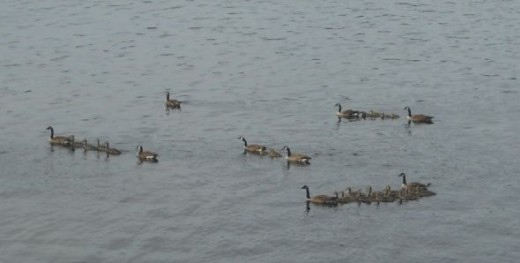 Several Families of Geese