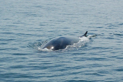 Fin whale (Balaenoptera physalus) in Bay of Fundy, Canada, by Acqumen Enterprises