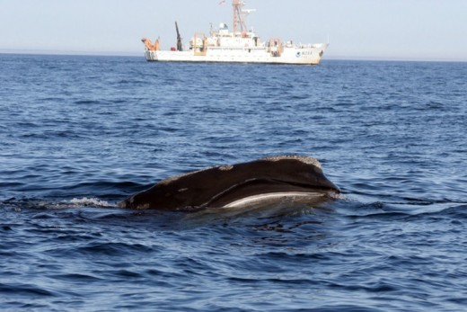 Right whale skim feeding with NOAA ship Delaware II in the background.