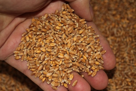Organic heritage Red Fife wheat - I buy 50 pounds at a time and grind fresh whole grain flour as needed.The bread's always fresh!