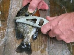 how to clean bluegill sunfish