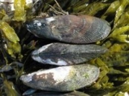ribbed mussels