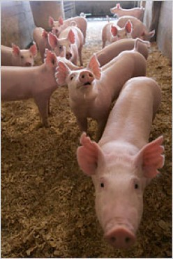 The Hogs are Still Feeding on Wall Street
