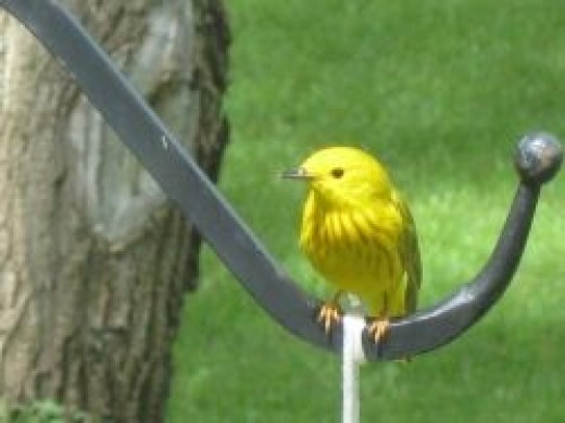 Yellow Warbler c. bossypants