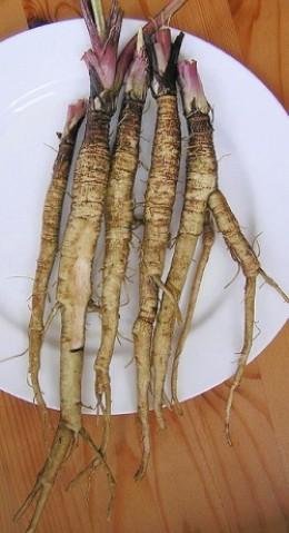 Arctium lappa roots