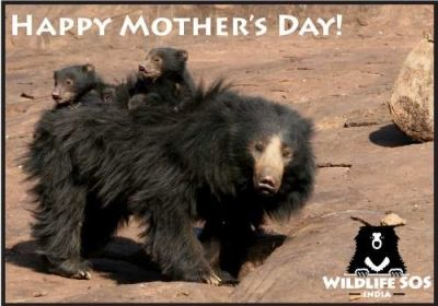 Sloth Bear with Cubs - How Sloth Bears Should live