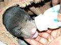 Another Cub Saved By Wildlife S.O.S. (Still In Poacher's Bag)