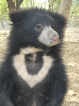 Laila -- Another saved bear cub