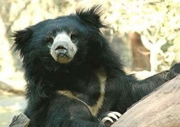 Another Contented Sloth Bear Cub At A Wildlife S.O.S. Dancing Bear Sanctuary