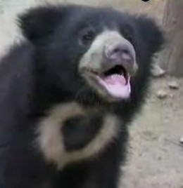 Another Saved Bears Smiling In His New Home - Agra Sanctuary