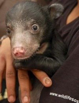 Another sloth cub rescued from poachers