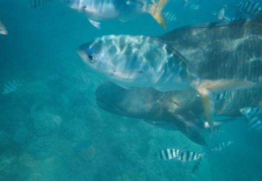 Unfortunately I was using a disposable camera, so Elvis was partially blocked by a fish that swarm between us.  Elvis is a HUGE fish, just about as large as me.  The crew of ships traveling through the Whitsundays told us he was friendly, but seeing