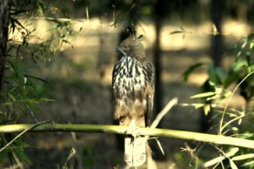 Crested Hawk Eagle at Bandhavgarh