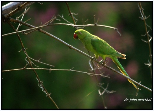 Rose ringed parakeet common