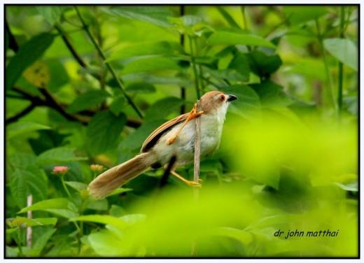 Yellow Eyed Babbler