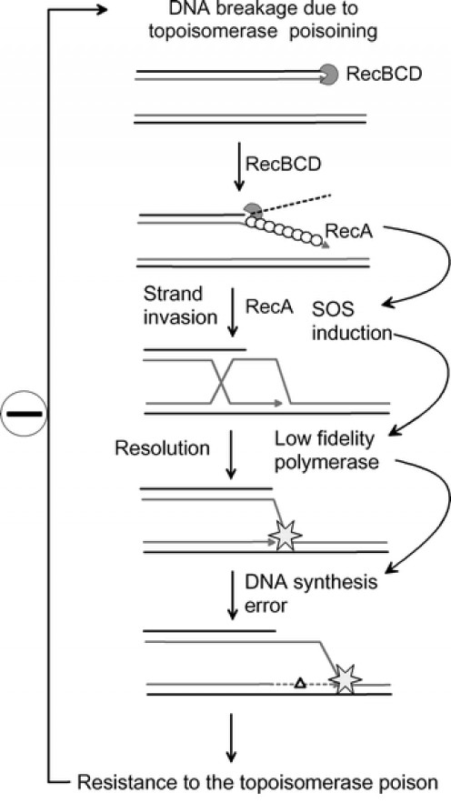 A model for SOS-dependent evolution to antibiotic resistance