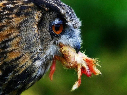 Owl Eating a Chicken