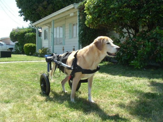 Sierra walking in the front yard in her donated wheel chair