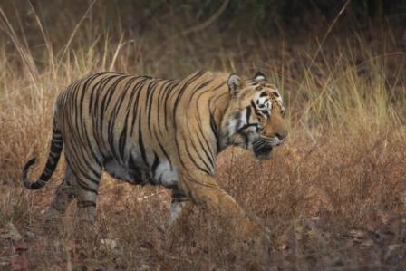 Tiger in Grassland