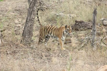 Scent marking by tiger