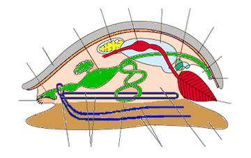 Mollusk Anatomy