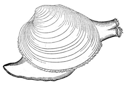 Clam with a siphon and a foot