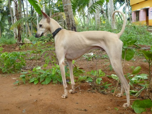 Chippiparai Dog