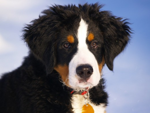 Even as young dogs, some breeds such as the Bernese Mountain Dog, are more likely to require treatment for arthritis