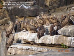 Eurasian and Himalayan Vultures