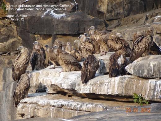 Eurasian and Himalayan Vultures