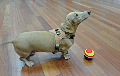 A Therapeutic Dachshund playing fetch.