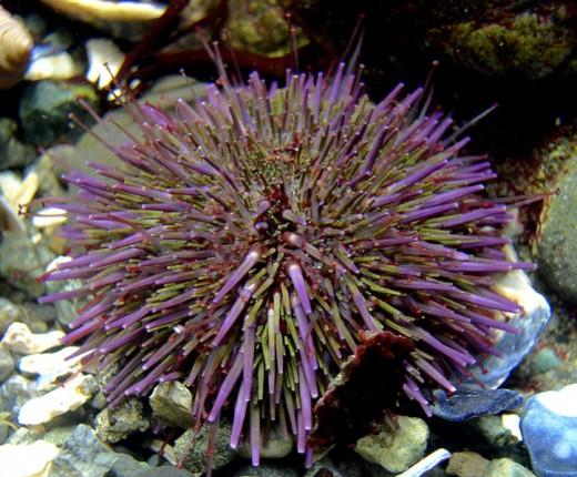 Sea Urchins are invertebrates.