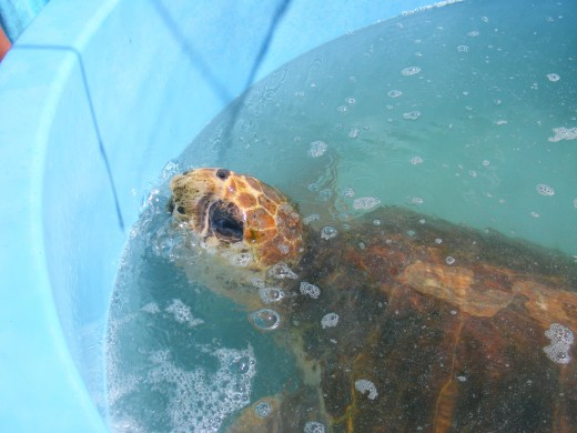 Currently five sea turtles call The Turtle Hospital their permanent home- Bubble Butt, Bender, Rebel, April and Montel.  All have ailments that will prevent their release into the wild.
