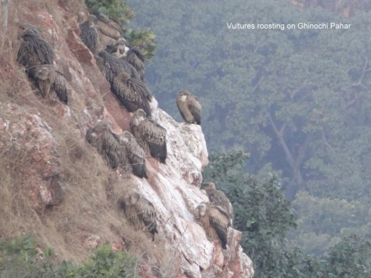 Vultures at Panna National Park in MP
