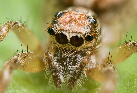 Simple eyes on a spider