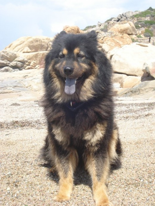 Eurasier Dog - Benda
