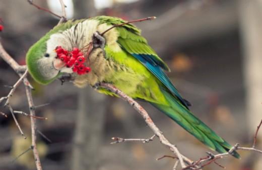 Quaker Parrot enjoying a type of wild berry.