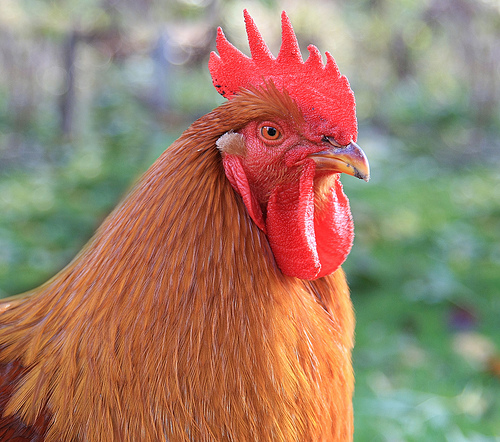 Mature New Hampshire Hahn rooster.