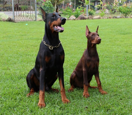Dobermans are one of the breeds prone to developing heart disease due to DCM