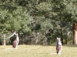 Kangaroo - Image courtesy http://www.canoeandkayakhirekangaroovalley.com.au/