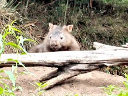 Wombat - Watchout for them on the road  - Image courtesy http://www.canoeandkayakhirekangaroovalley.com.au/