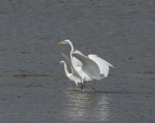 Snowy Egret(background)/Great Egret(foreground)