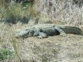 Facts about American Alligators