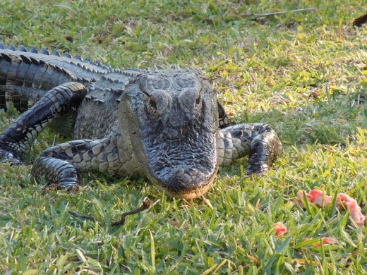 Note the alligator's distinctive U shape of the snout, designed for crushing turtle shells with a powerful bite.  Crocodiles have narrower, more pointed snouts, thought to be because they eat a slightly different diet.