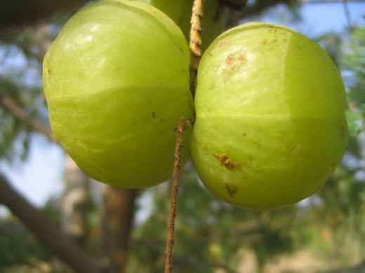 Amla tree with branch, Amla oil is made from this
