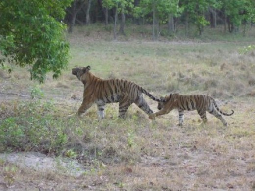 Male Tiger with Cub Photo