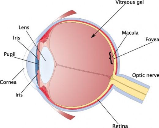 Cross section of a human eye.