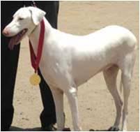 Female Rajapalayam Dog