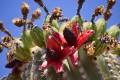 Saguaro Cactus -  Amazing Giant Cactus