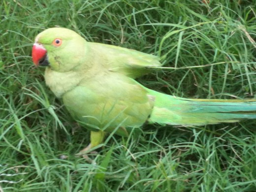 Green is the parrot and Green is the Grass
